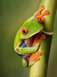 portrait of the eyed tree frog photograph by d lester
