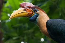 knobbed hornbill rhyticeros cassidix hotspot birding