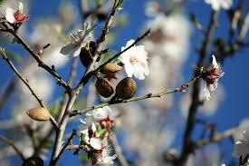 flowering pink almond how to care for growing flowering almonds