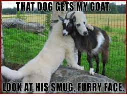 Smug Meme Face - that dog gets my goat look at his smug furry face meme on sizzle