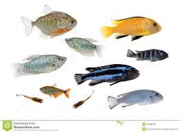 different aquarium fishes isolated on white stock photo image