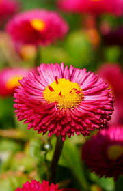 best 25 daisy flower photos ideas on pinterest daisy daisy