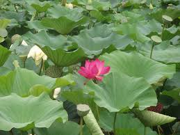 Lotus Flower Parts - nasa lotus plant inspired dust busting shield to protect space gear