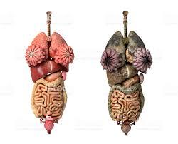 Images Female Anatomy Female Anatomy Full Internal Organs Stock Photo 152973911 Istock