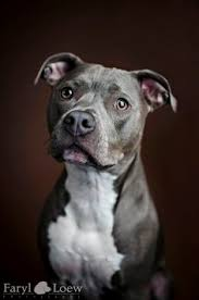 american pitbull terrier natural ears portrait of a pitbull american pit bull terrier dog puppy hound