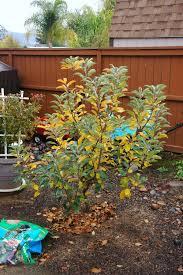 apple trees for southern california homesteadgardenbbqblog