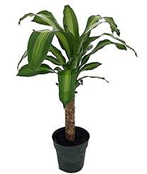 25 Easy Houseplants Easy To by Amazon Com Creme U0026 Green Corn Plant Dracaena 6