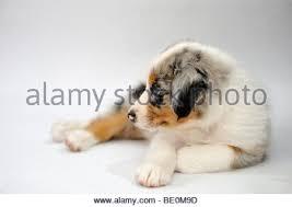 mini australian shepherd 7 weeks a 7 week old australian shepherd puppy named brinkley stock photo