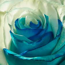 turquoise roses white and turquoise roses blooms farm direct magnaflor