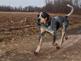 bluetick coonhound gascon westminster u0027s best of breed bluetick coonhound dog and animal