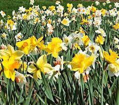 Ideas For Daffodil Varieties Design Fragrant Daffodils White Flower Farm