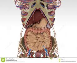 Human Anatomy Diagram Download Human Anatomy Diagram Picture Of Human Anatomy Diagram