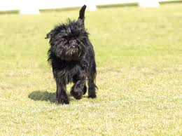 affenpinscher terrier mix smallest dog breed