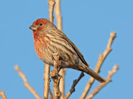 house finch wikipedia
