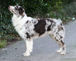 australian shepherd gray imagineer australian shepherds