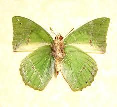 charaxes eupale verso butterfly designs framed butterflies