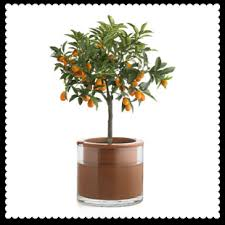 ornamental orange tree turn the fruit into jam miss thrifty
