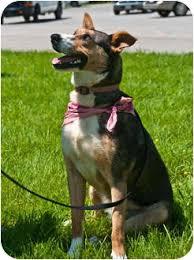 australian shepherd virginia lilly adopted dog floyd va basenji australian shepherd mix