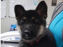 belgian shepherd vancouver pet of the week veterinarian and animal hospital in youngstown oh