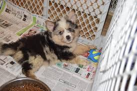 belgian shepherd kentucky hazard ky australian shepherd meet callie a dog for adoption