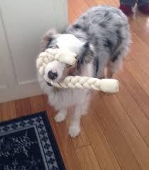 australian shepherd howling australian shepherd dog cookie of katonah