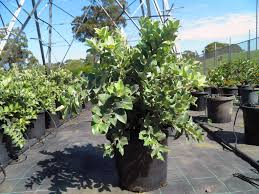 australian native plants online native plants and contract growing mansfield brisbane nursery