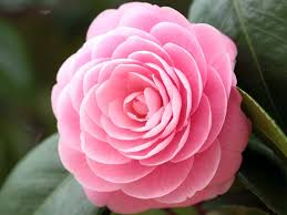 camellia flowers camellia plant growing tips and varieties beabeeinc
