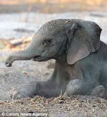 The Blind Men And The Elephant Analysis Baby Elephant Takes First Steps In Northern Botswana Daily Mail