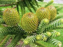 montana native plants araucaria montana plants must to have v b conifers plants of