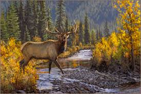 rocky mountain elk oil painting oil painting by wildlife artist