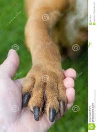 american pitbull terrier webbed feet american pitbull terrier royalty free stock images image 26377879
