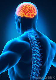 Role Of Brain Stem What Is The Medulla Oblongata With Pictures