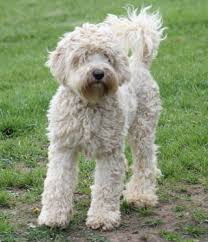cost of a bichon frise a designer dog maker regrets his creation psychology today
