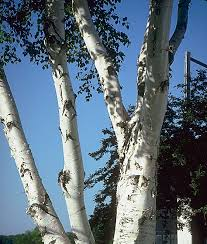 looking to purchase a birch tree