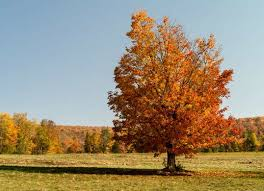 4 trees with white bark that are year bob