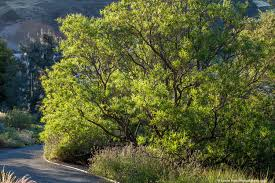 native desert plants american trees