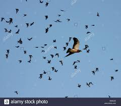 swainson u0027s hawk hunting emerging mexican free tailed bat stock
