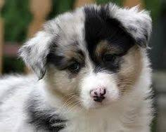 australian shepherd overprotective australian collie cross google search animal love pinterest