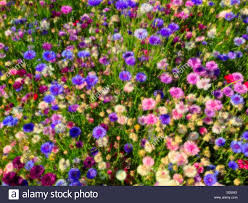 soft focus cornflowers in a summertime mix of cheerful and