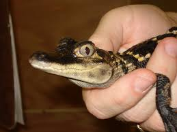 baby alligator hd desktop wallpaper instagram photo background