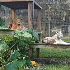 big cat rescue photos facebook