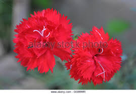 Red Carnations Red Carnations Stock Photos U0026 Red Carnations Stock Images Alamy