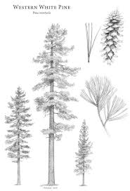white pine tree pinus monticola western white pine description the gymnosperm