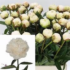 Wholesale Peonies Peony Bowl Of Cream Wholesale Flowers U0026 Florist Supplies Uk