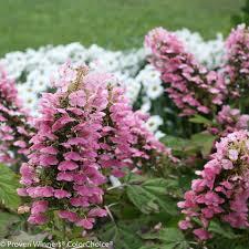 pink hydrangea gatsby pink oakleaf hydrangea hydrangea quercifolia proven
