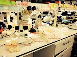 Biology Lab Bench A Day In The Life Of A C Elegans Lab The Node
