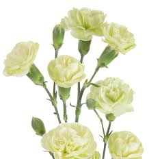 cut flowers dianthus jade photo selecta cut flowers