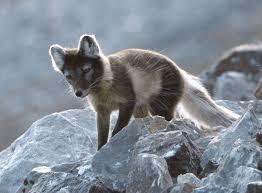arctic fox alopex lagopus animals a z animals