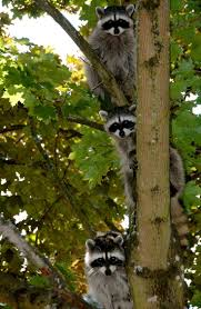 698 best raccoons images on pinterest animal kingdom racoon and