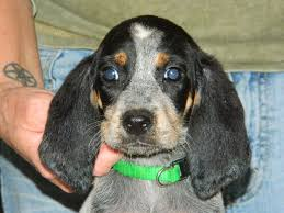bluetick coonhound apparel 88 best doggie stuff images on pinterest bluetick coonhound